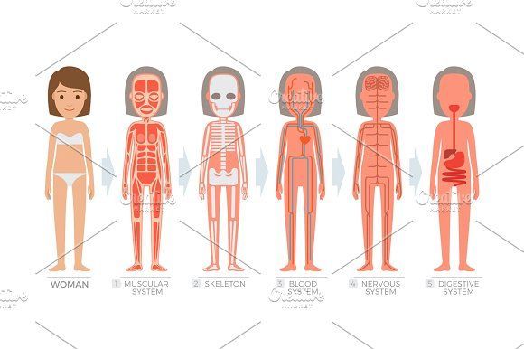 Woman Anatomy System and Structure of Human Body  @creativework247