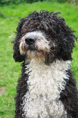 Spanish Water Dog photo | Spanish Water Dog Lovers - Canon Digital Photography Forums