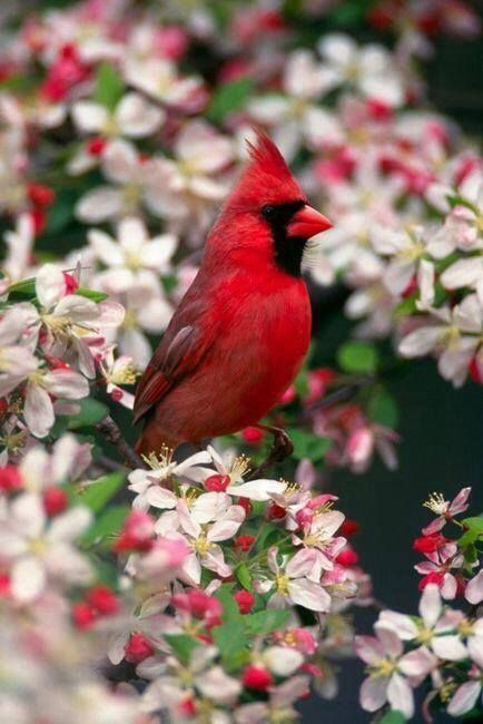 <3 soon signs of spring (cardinal and apple blossom flowers)