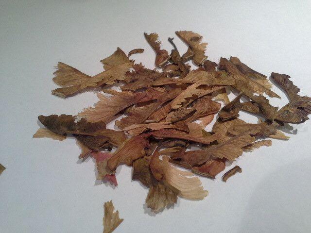 Acer Tataricum Tatar Maple 20 seeds