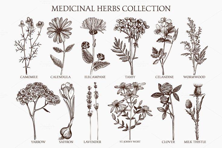Medicinal herbs sketch set by ievgeniia on Creative Market