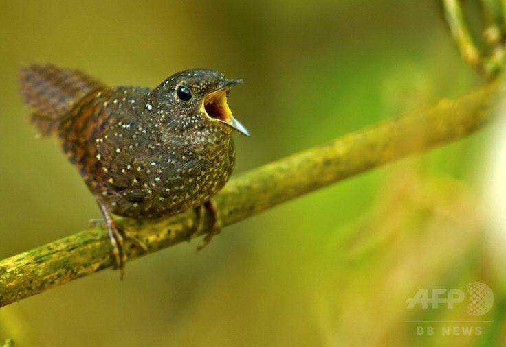 ヒマラヤ山脈東部の地域で発見されたチメドリ Timaliidae ( Old World babbler ) の一種。世界自然保護基金が公開(2015年10月6日公開)。(c)AFP/WWF/RAMKI SREENIVASAN ▼6Oct2015AFP|「くしゃみザル」や「歩く」魚など、新種生物211種をヒマラヤで発見 http://www.afpbb.com/articles/-/3062369