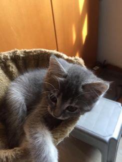 Kitten, Katzenbaby w. Mama Britisch Kurzhaar, Papa Maine Coon