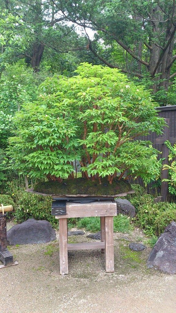 112 best bonsai japanese maple images on pinterest for Zen garden trees
