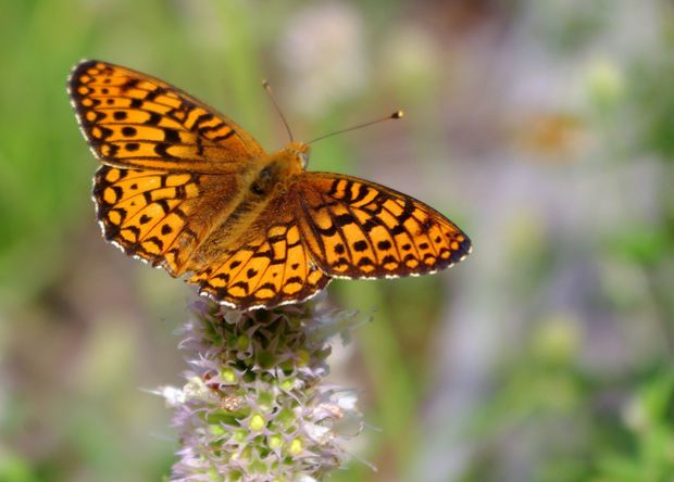 A Silverspot Butterfly shot in Ochoco National Forest