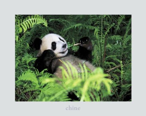 Giant Panda, Szechwan Province, China