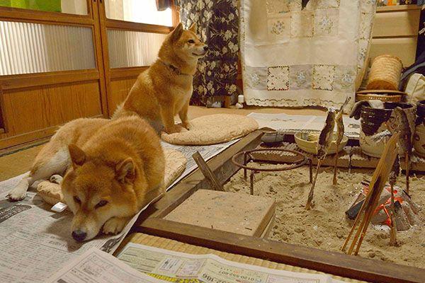 日光の五十里湖畔にひっそり佇む小さな古民家。そこに、看板犬と番犬の2足のわらじで人気を集めている柴犬カップルがいる・・・