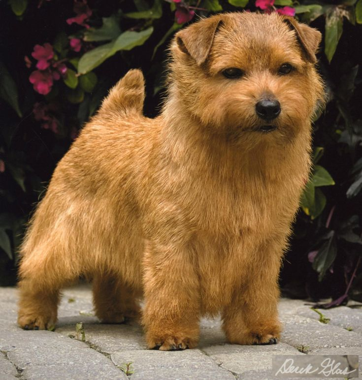 What Does A Patterdale Dog Look Like