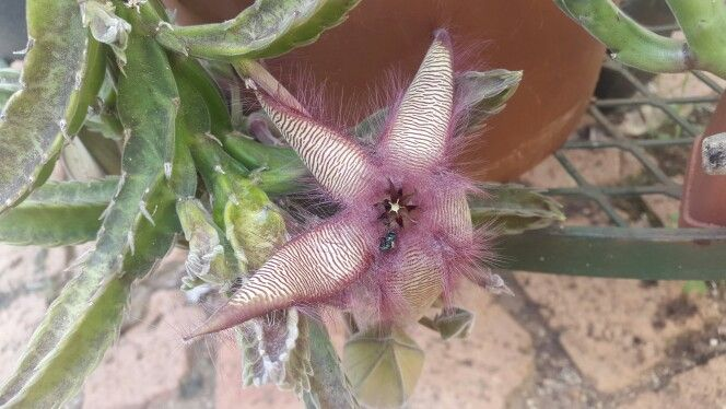 Stapelia gettlifii