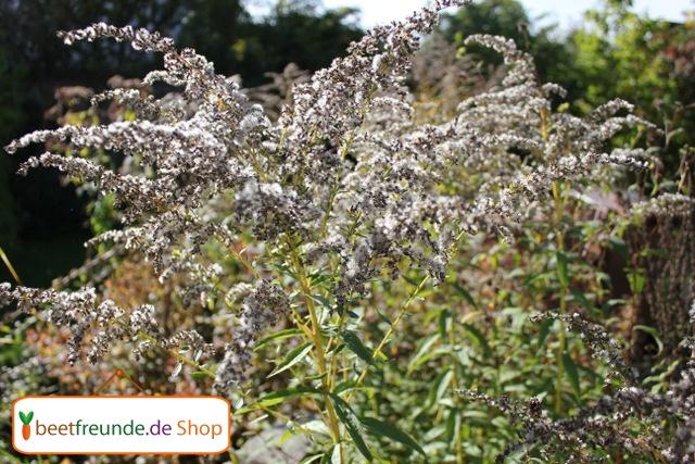 Auch die verblühten Samenstände der Goldraute sehen im Herbst sehr dekorativ aus und lassen sich gut zum Basteln verwenden.