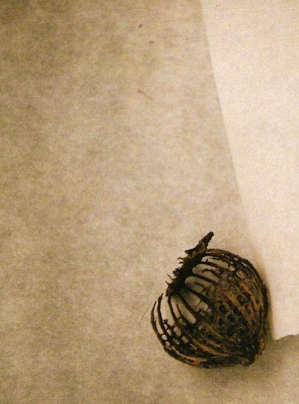 Skeleton Husk of Poppy Seed Pod