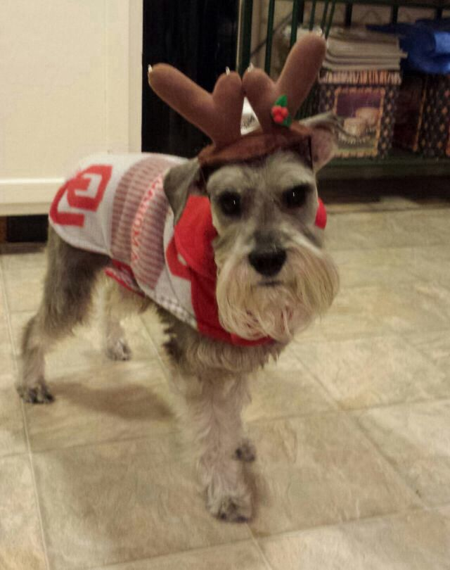 1000 Images About Schnauzer Love On Pinterest Standard