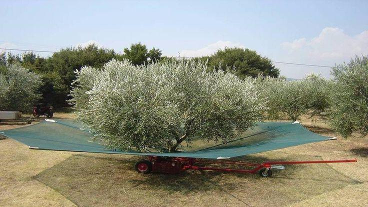 Στις περισσότερες περιοχές της Ελλάδας αυτή την εποχή μαζεύουν τις ελιές Μία έξυπνη πατέντα Κρητικών μπορεί να βάλει τέλος στην κούραση με το τράβηγμα των