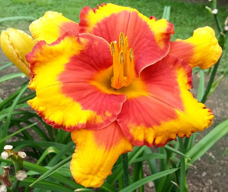 17 Best Images About Daylilies On Pinterest Auction In