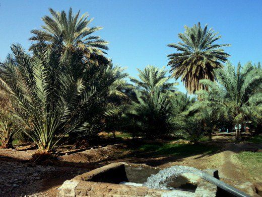 Date palm plantation in Saudi Arabia with irrigation system using water pumped from underground. Planted mainly for the date fruit, other parts of the trees are also exploited for medicinal and commercial use.