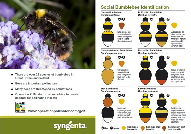 Bee Species Identification Chart the simpleOperation