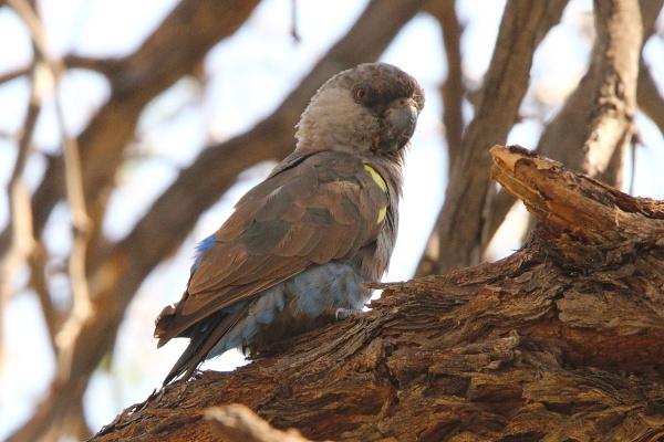 Rueppell's Parrot (Poicephalus rueppellii) / Длиннокрылый попугай Рюппеля