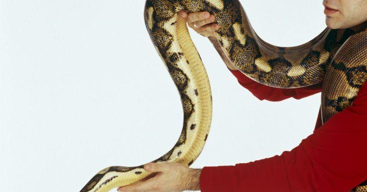 Cómo matar serpientes salvajes. Incluso si te gustan las serpientes, ocasionalmente puedes encontrarte con una en una situación donde esta se tiene que ir. En esas situaciones, no necesariamente te importará si es una mamba negra, una serpiente cascabel, una pitón o una víbora inofensiva de jardín. Sólo querrás que se vaya. Recuerda que las serpientes están más asustadas de ti ...
