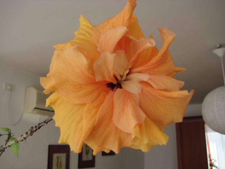 My orange hibiscus