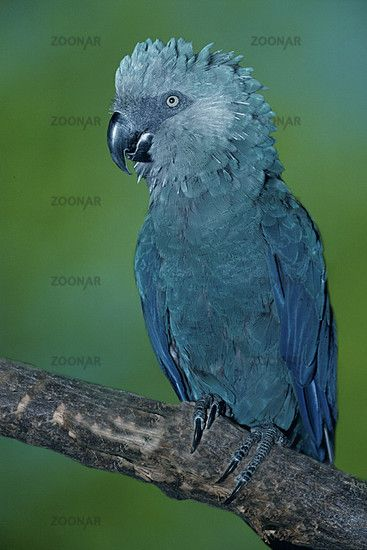 Spix's Macaw  a.k.a. The Little Blue Macaw, Cyanospitta spixxii   -  *critically endangered, (Possibly Extinct in the wild), Northeastern Bahia, Brazil