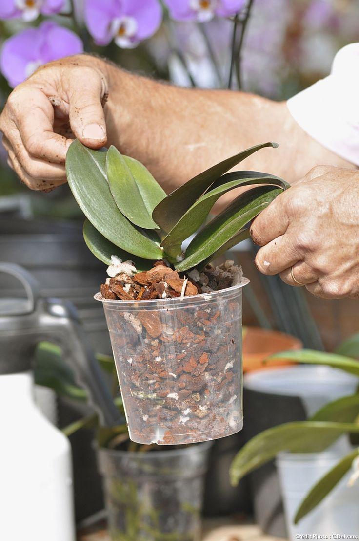 Le test pour savoir si une orchidée rempotée est bien fixée dans son pot.