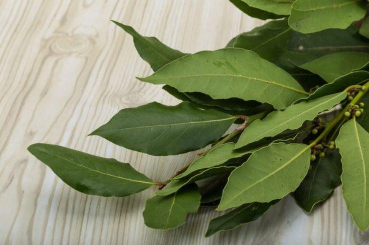 Okrasný ker aj liečiteľ- to je Vavrín čiže bobkový list