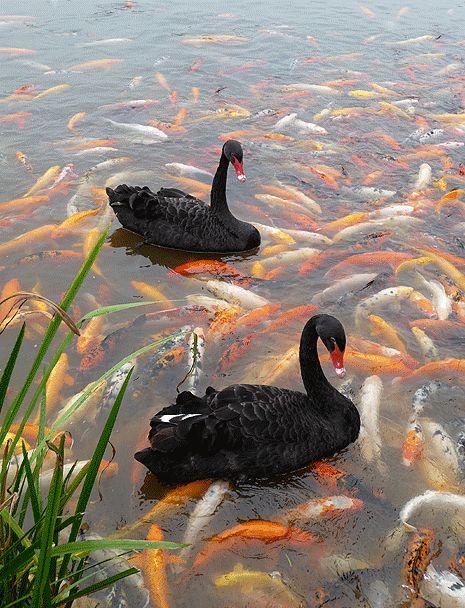 Gorgeous  Black swans and Koi