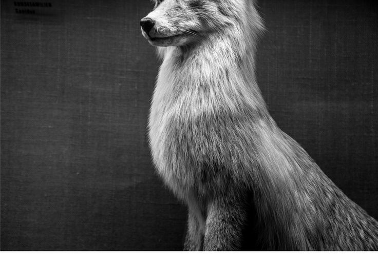 "Saatchi Art Artist: Jonas Howden Sjøvaag; Black & White 2014 Photography ""Red Fox I 