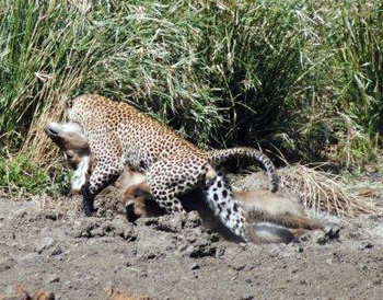 Leopard attacking waterbuck 2
