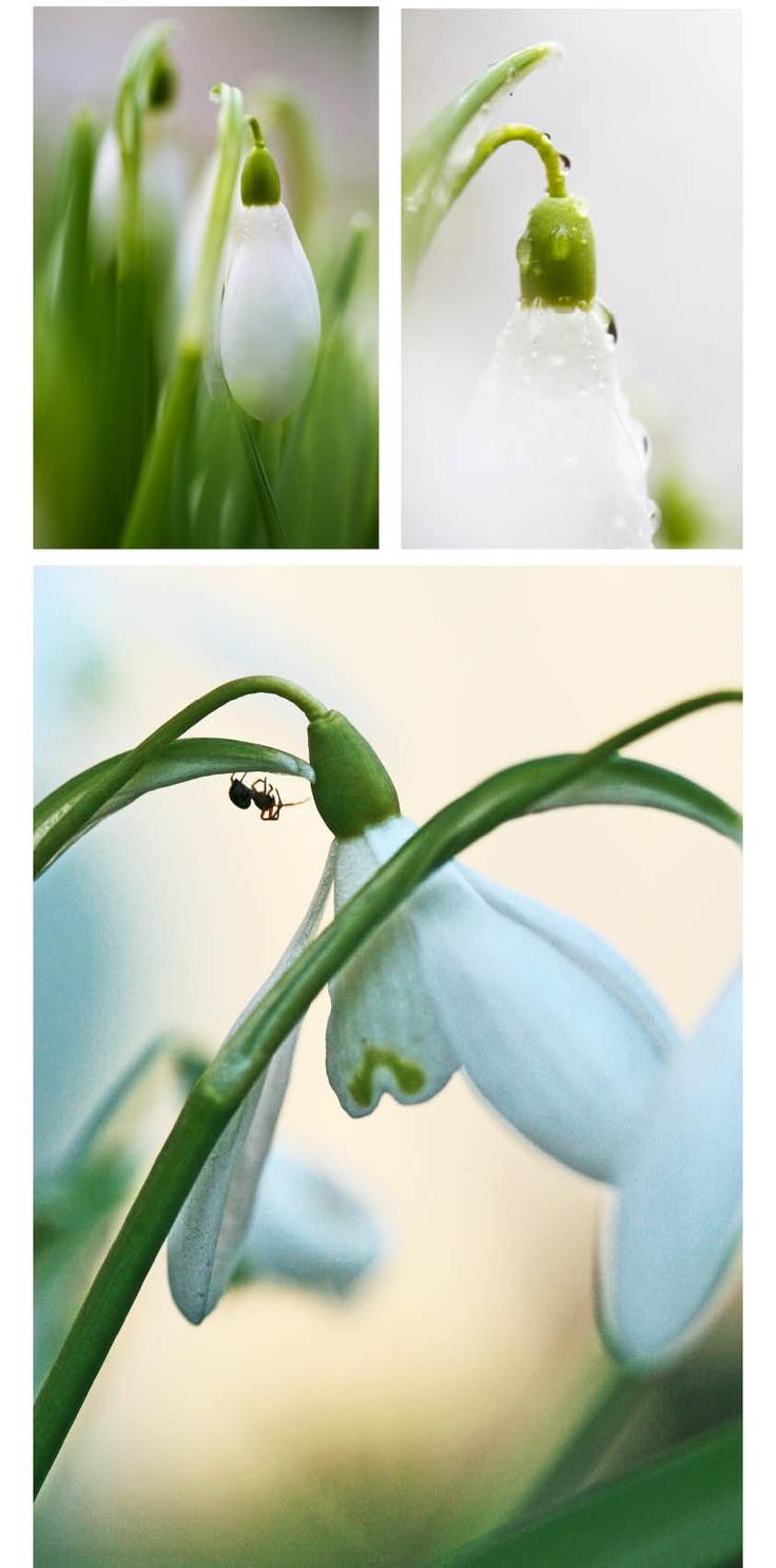 Snowdrops in Sweden