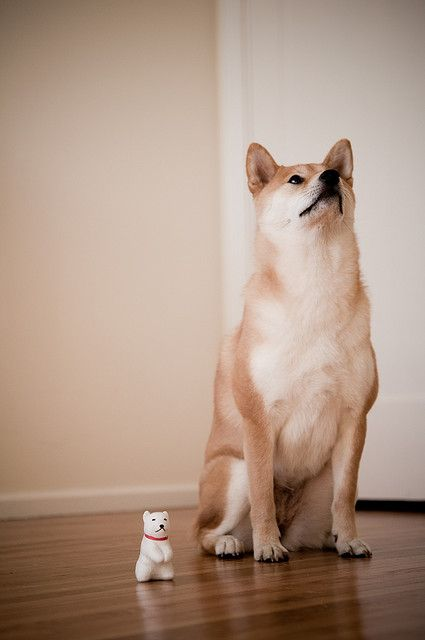 shiba inu, only the cutest dog in the world!!