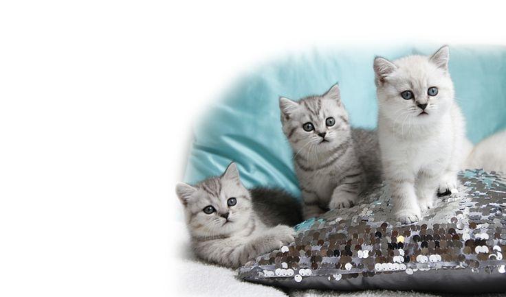 """•.>o<.• Britisch Kurzhaar Zucht """"of polar-pearls"""" •.>o<.•"""