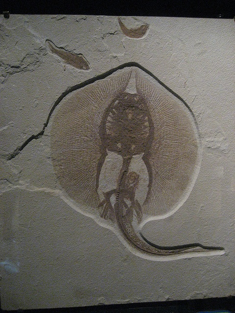 Fossilized Pregnant Ray
