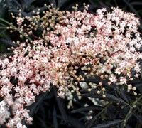 Black Lace Elderberry - (Sumbucus nigra <a href='/Plants/2018/Perennial-Plants/Black-Lace.html'>'Black Lace'</a>) - Perennial Plants