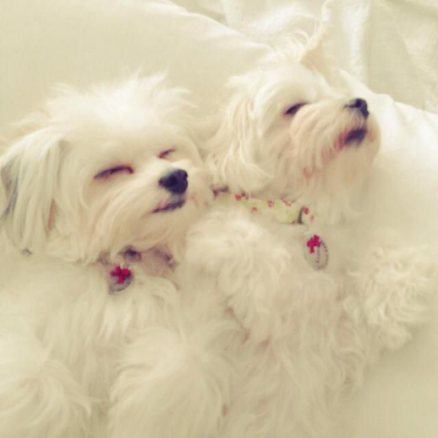 My girls #puppies #dogs #Maltese #poodle #Yorkie #mixedbreeds #maltipoo