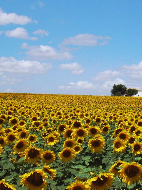 スペイン ひまわり畑(Sunflower Field in Spain)