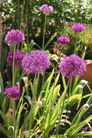 Wann man welche Blumenzwiebeln pflanzt - Blumenlauch Allium - Sommerblüher aus Blumenzwiebeln