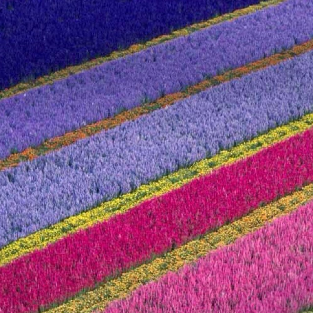Flower farm in Lompoc , Ca  I lived here when I first got married.  Loved those beautiful flower fields!