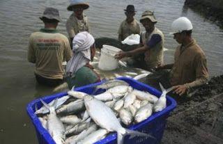 budi daya ikan bandeng di air tawar, budidaya ikan air tawar di lahan sempit, budidaya ikan bandeng memanfaatkan jenis air, jual bibit ikan bandeng air tawar, umpan ikan bandeng air tawar,