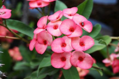 Crown Of Thorns Euphorbia: Tips On Growing Crown Of Thorns Outdoors - Heat tolerant and drought resistant, the crown of thorns plant is a real gem. Usually seen as houseplants, you can plant crown of thorns in the garden in warm climates. For tips about growing crown of thorns outdoors, this article will help.