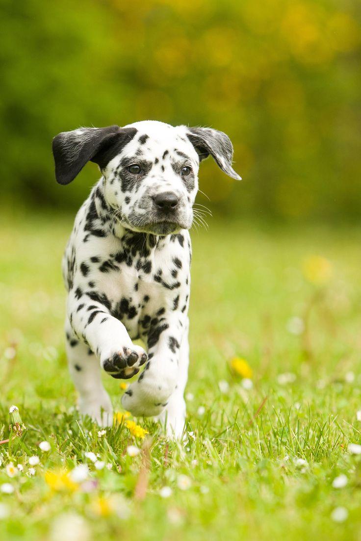 Dalmatian Puppies For Sale Nyeri Kenya