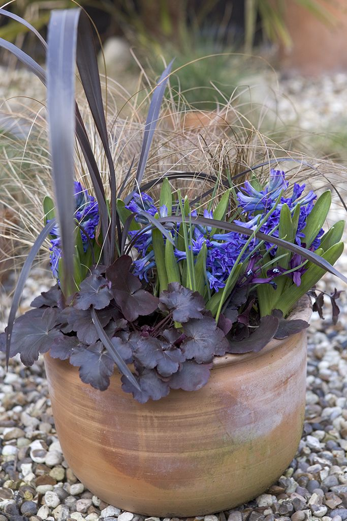 Potted spring bulbs: Try this sultry combination of blue hyacinths, with dark-leaved heuchera, iris reticulata, purple phormium and bronze carex. Find out how to grow hyacinths at http://www.gardenersworld.com/how-to/projects/planting/how-to-plant-hyacinth-bulbs/163.html Photo by Sarah Cuttle.
