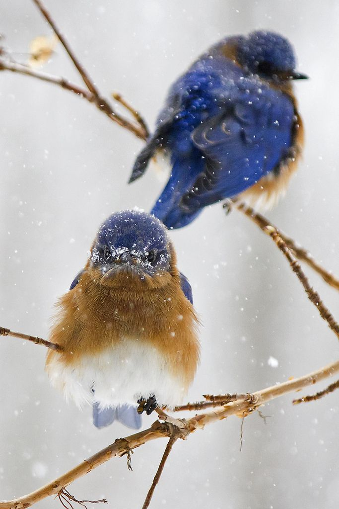 Bluebirds in the snow by Cheryl Rose