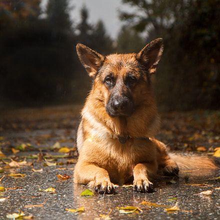 Eliminate Over 30+ Common Behavioral German Shepherd Issues - german shepherd #germanshepherd