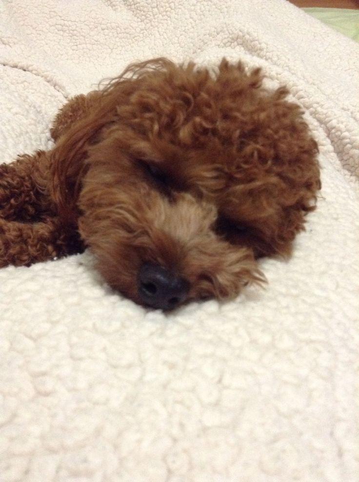 Sleepy Hodoo #Red toy poodle