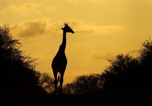 Giraffe silhouetted at sunrise, #KrugerNationalPark - July 2013