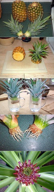 Growing pineapple plants from crowns - no written instructions but the step by step pictures are pretty clear.