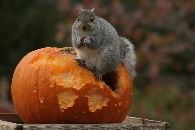 Pumpkin Carver ~ my oh my - that squirrel looks like she's set for winter ~ nice and padded!