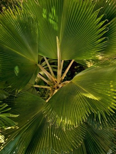 Fan Palm Houseplant: How To Grow Fan Palm Trees Indoors - Fan palm trees are amongst the most popular of indoor tropical plants and require bright light conditions and ample space to thrive. Read this article for tips on growing fan palms.