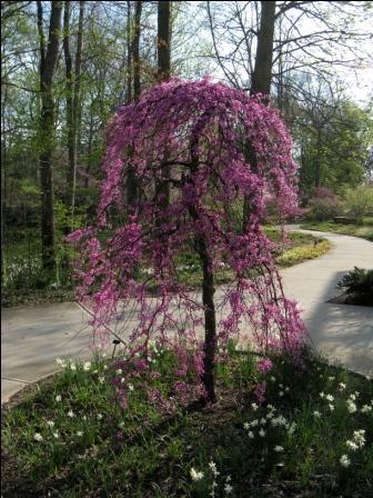 tres beau cerisier japonais en fleurs